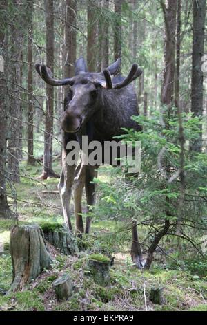 Eland mannetje in fijnsparrenbos; male moose in norway spruce forest - Stock Photo
