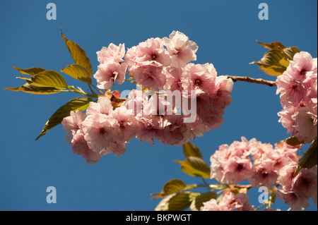 Pink cherry blossom flowers against a blue sky, spring afternoon, UK - Stock Photo