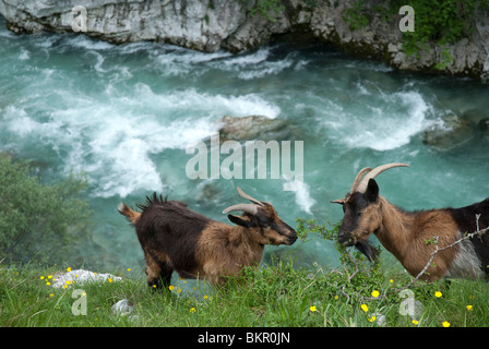 Wild goats, Cares Gorge, Central Massif, Picos de Europa, Spain - Stock Photo