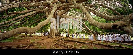 Sri Lanka, Kandy, Peradeniya Botanic Gardens. School girls & a bodhi, or pipal, tree. - Stock Photo