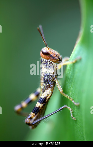 grasshopper nymph - Stock Photo