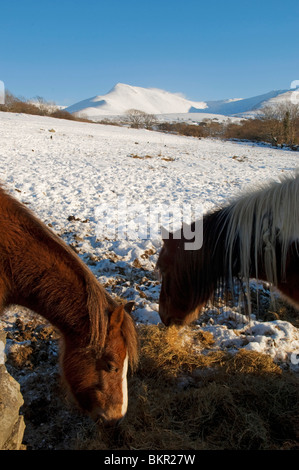 Wales, Gwynedd, Snowdonia. Ponies near Bethesda eating hay in a snow covered hillside against the Carneddau. - Stock Photo