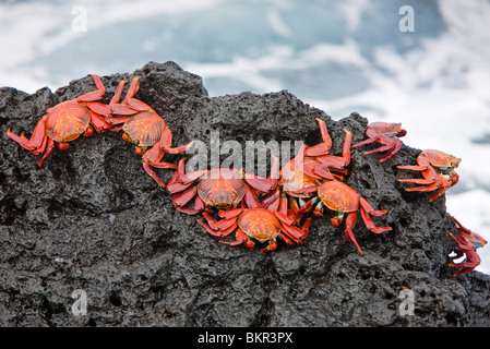 Galapagos Islands, Brightly coloured Sally lightfoot crabs or red lava crabs - on Santiago Island. - Stock Photo
