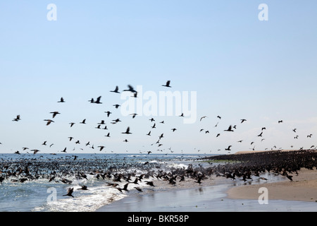 Africa, Namibia, Skeleton Coast. Between Walvis Bay& Swakopmund flock of Cape Cormorants on the waters of the Benguela - Stock Photo