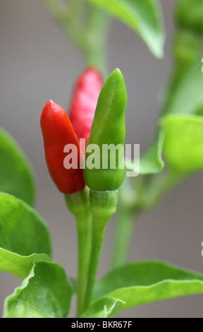red and green colourful chillies(Capsicum annuum) - Stock Photo