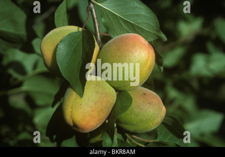 Ripening apricot fruit on the tree in evening sunshine, Provence, France - Stock Photo