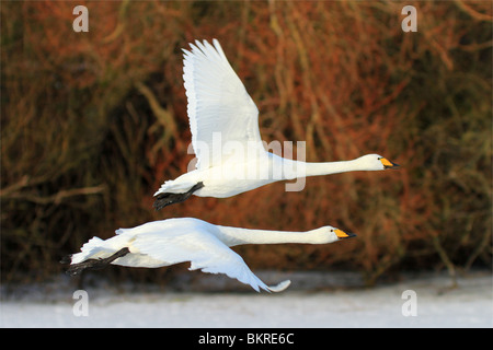 two whooper swans in flight at the Wildfowl and Wetland Trust Reserve at Caerlaverock in South West Scotland, UK. - Stock Photo