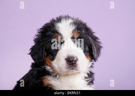 Berner Sennenhund Welpe / Bernese Mountain Dog Puppy - Stock Photo