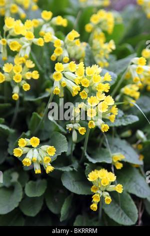 Primula Veris, Cowslip - Stock Photo