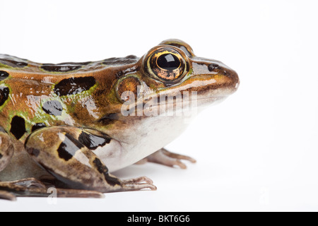 Northern leopard frog, Lithobates pipiens, North America - Stock Photo