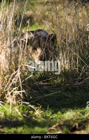 Lioness hidden in grass, Erindi game reserve, Namibia. - Stock Photo