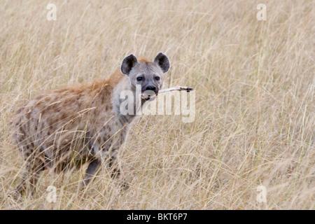 Spotted Hyena eating remains of a gazelle killed by cheetah, Masai Mara National Park, Kenya.. - Stock Photo