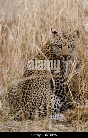 Young male leopard in grassland, namibia, Africa. - Stock Photo