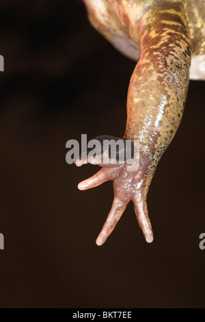 photo of the front leg of a male common frog in breeding season with its mating brushes well visible, these brushes - Stock Photo