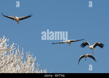 Witte ooievaar (Ciconia ciconia) in de vlucht in winter, België White stork flying (Ciconia ciconia) in flight - Stock Photo