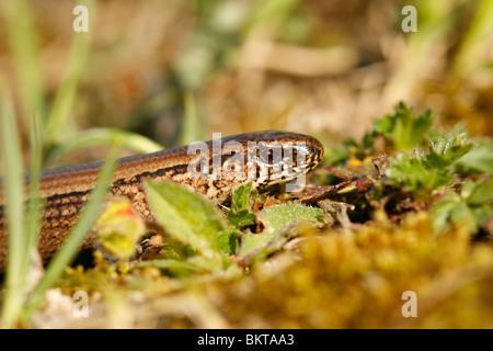 close-up  van de kop van een vrouwtje hazelworm foeragerend in heideterrein; close-up of the head of a female slow - Stock Photo