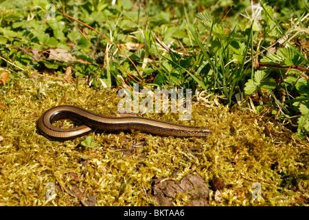 bovenaanzicht vrouwtje hazelworm zich opwarmend op bemoste stronk in natuurlijk habitat; top view female slow worm - Stock Photo