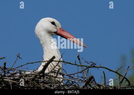 ooievaar op nest;  white stork on nest - Stock Photo