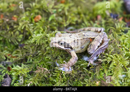 Common Frog Rana temporaria immature resting on a patch of moss - Stock Photo