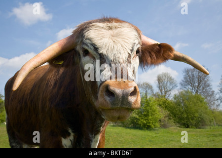 English long horn cow - Stock Photo