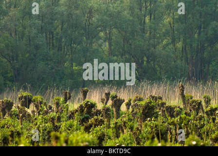 Griendcultuur en wilgenvloedbos op de Pannekoek in Nationaalpark de Biesbosch; Willowcoppice and willow woodland - Stock Photo