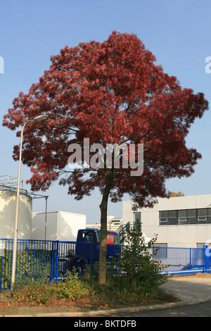De smalbladige es (Fraxinus angustifolia) is een plant die behoort tot de olijffamilie (Oleaceae). De boom komt - Stock Photo