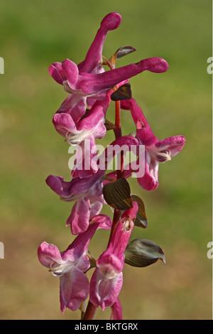 close-up van bloeiwijze met enkele bloemen en de gaafrandige steunblaadjes - Stock Photo