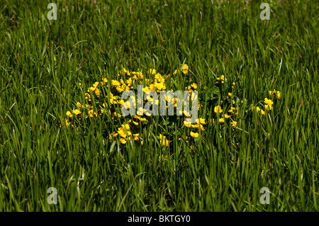 Marsh Marigold or King Cup, Caltha palustris, in flower in spring - Stock Photo