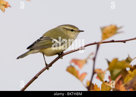 Humes Bladkoning op een twijgje met herfstbladeren; Hume's Leaf Warbler on a twig of a tree with autumn leafs - Stock Photo
