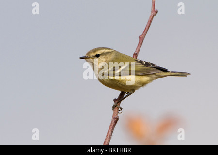 Humes Bladkoning in de top van een boompje; Hume's Leaf Warbler in top of a tree - Stock Photo