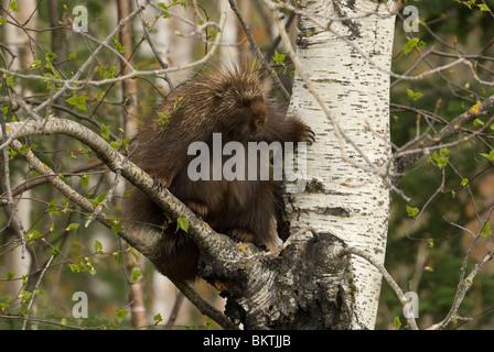 Een Noord-Amerikaans Stekelvarken staat in een boom,A Porcupine standing in a tree. - Stock Photo