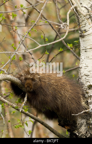 A Porcupine laying in a tree. - Stock Photo