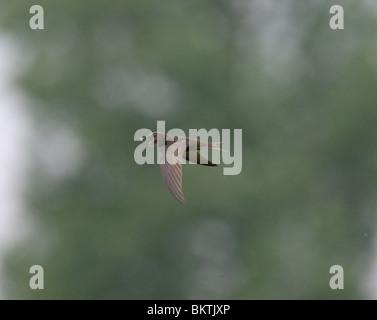 Gierzwaluw met open snavel vliegend en fouragerend staat op het punt om een insect te vangen. Common Swift with - Stock Photo