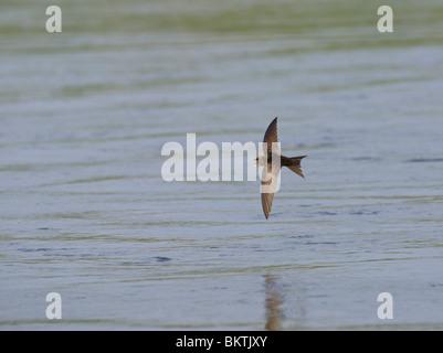 Gierzwaluw met open snavel vliegend en fouragerend boven het water staat op het punt om een insect te vangen. Common - Stock Photo