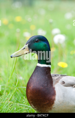 Anas platyrhynchos. Male mallard duck portrait - Stock Photo