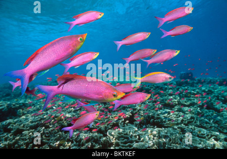 Purple queen anthias (Pseudanthias tuka) swimming over coral reef. Bali, Indonesia. - Stock Photo