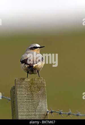 Northern Wheatear Oenanthe oenanthe male perched on wooden post - Stock Photo