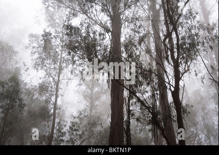 Eucalyptus Trees in the Mist on Crater Road on the Ascent to the Summit of Haleakala Volcano & National Park, Maui - Stock Photo