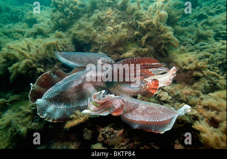 Giant cuttlefish large male warning off a male trying to approach a female during breeding season. - Stock Photo