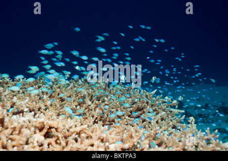 Blue-green chromis (Chromis viridis) feeding in water column over acropora coral in which they shelter. Komodo, - Stock Photo