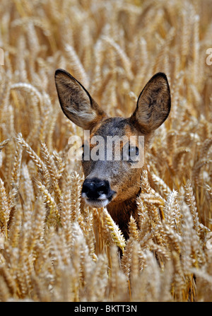 Roe Deer in autumn wheat field.  Its head above the ripe wheat looking straight at camera. - Stock Photo
