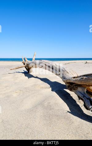 Large piece of driftwood  tree on Coast Guard beach, Cape Cod National Seashore, Eastham, Massachusetts USA - Stock Photo
