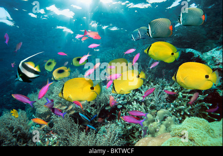 Yellow butterflyfish swimming over coral reef with Redtail butterflyfish and Purple queens - Stock Photo