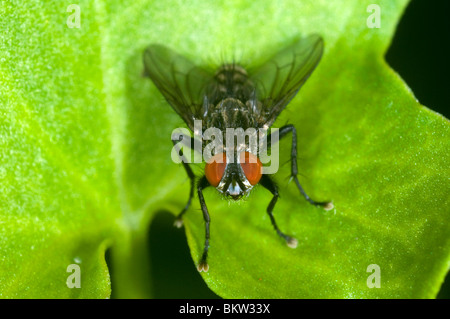 Extreme close up of a fly at rest on a leaf - Stock Photo