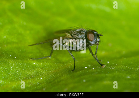 Extreme close up of a cluster fly at rest on a leaf - Stock Photo
