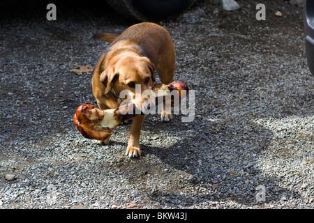 Beagle / German Shepard Dog Carrying a massive leg bone - Stock Photo
