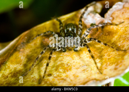 a wolf spider Pardosa Amentata, in a garden in the UK. Female - Stock Photo