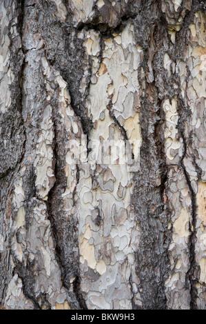 Close up of the bark of an Austrian pine, Pinus Nigra with wonderful texture, UK - Stock Photo