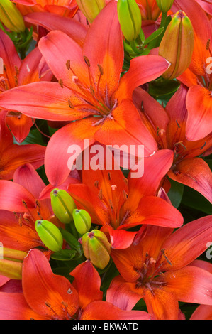 Asiatic Red Lilies United States - Stock Photo