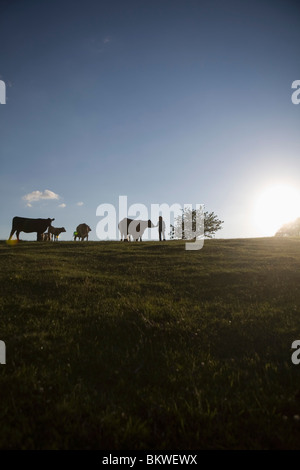 View over field with cows - Stock Photo